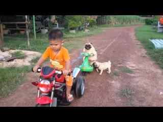 Pug Puppy Wants Back On The Motorcycle