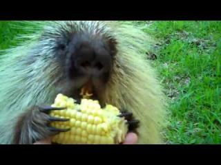 ''Teddy Bear,'' the porcupine, doesn''t like to share...