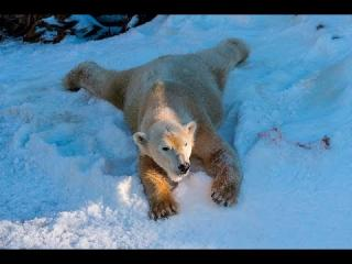 Polar Bears Play in Snow at the San Diego Zoo