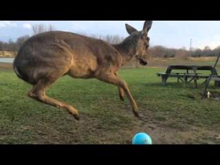 Baby Deer Can''t Figure Out How to Play With a Ball