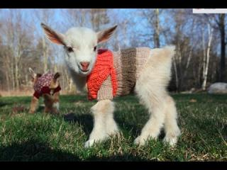Goat Triplets in Sweaters...Could anything be cuter?