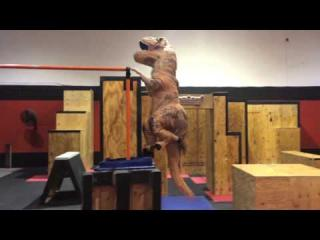 Dinosaur Performs Stunts All Over Obstacle Course